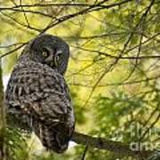 Great Gray Owl Pictures 779 Art Print