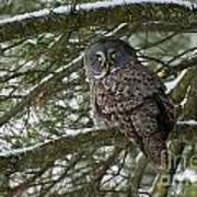 Great Gray Owl Pictures 780 Art Print
