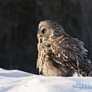 Great Gray Owl Pictures 788 Art Print