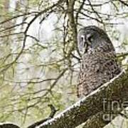 Great Gray Owl Pictures 804 Art Print