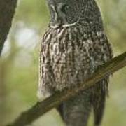 Great Gray Owl Pictures 823 Art Print