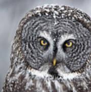 Great Gray Owl Scowl Minnesota Art Print