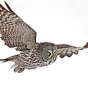 Great Grey Flyby Art Print