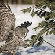 Great Grey Owl Pictures 23 Art Print