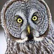 Great Grey Owl Pictures 41 Art Print