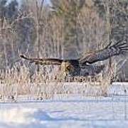 Great Grey Owl Pictures 47 Art Print