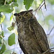 Great Horned Owl On A Branch  Art Print