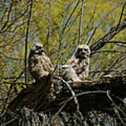 Great Horned Owlets 1 Art Print