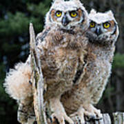 Great Horned Owlets Art Print