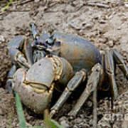 Great Land Crab Art Print