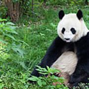 Great Panda Showing Its Tongue - Art Print