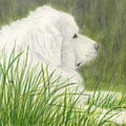 Great Pyrenees Dog In Grass Animal Pets Canine Art Art Print