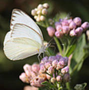 Great Southern White Butterfly On Pink Flowers Art Print