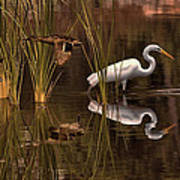 Great White Egret And Mallard Flight Sunrise Reflection Art Print