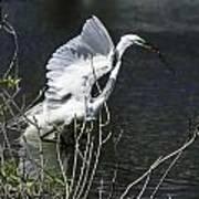 Great White Egret Building A Nest V Art Print