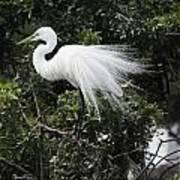 Great White Egret Building A Nest Vii Art Print