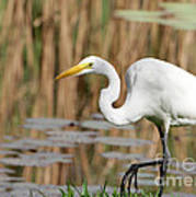 Great White Egret By The River Art Print by Sabrina L Ryan