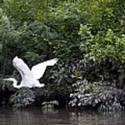 Great White Egret Flying 3 Art Print