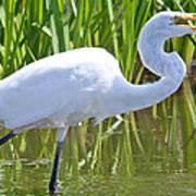 Great White Egret In Horicon Marsh Art Print