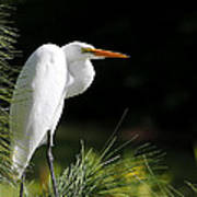 Great White Egret In The Tree Art Print