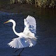 Great White Egret Landing Art Print