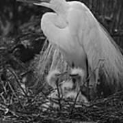 Great White Egret Mom And Chicks In Black Ans White Art Print