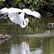 Great White Egret Wingspan And Turtles Art Print