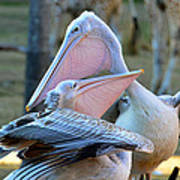 Great White Pelicans Art Print
