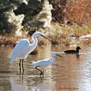 Greater Egret Lesser Egret And Coot Art Print