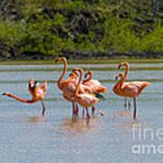 Greater Flamingos Art Print