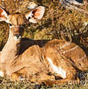 Greater Kudu Calf Art Print