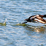 Greater Scaup Takes Flight Art Print