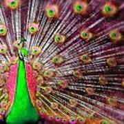 Green And Pink Peacock Art Print by Diana Shively