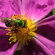 Green Bee Feeding On Rock Rose Art Print