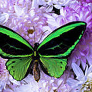 Green Butterfly And Mums Art Print