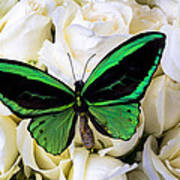 Green Butterfly On White Roses Art Print