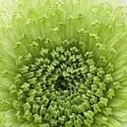 Green Chrysthanthemum Art Print