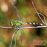 Green Dragonfly On Twig Square Art Print