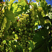 Green Grapes On The Vine Art Print
