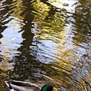 Green Head Mallard Duck Art Print