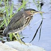 Green Heron 2 Art Print