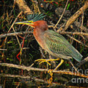 Green Heron Basking In Sunlight Art Print