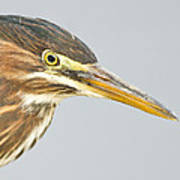 Green Heron Close-up Art Print