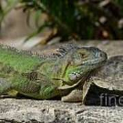 Green Iguana Lizard Art Print