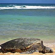 Green Sea Turtle - Kauai Art Print