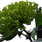 Green Shamrock Chrysanthemum. Art Print