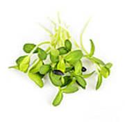 Green Sunflower Sprouts Art Print by Elena Elisseeva