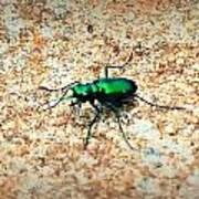 Green Tiger Beetle Art Print