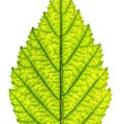 Green Tree Leaf Print by Elena Elisseeva