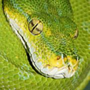 Green Tree Python #2 Art Print